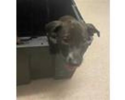 Adopt *MIKEY a Black - with White American Pit Bull Terrier / Mixed dog in