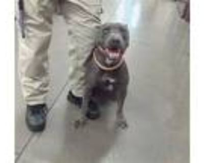 Adopt EDISON a Gray/Silver/Salt & Pepper - with White American Pit Bull Terrier