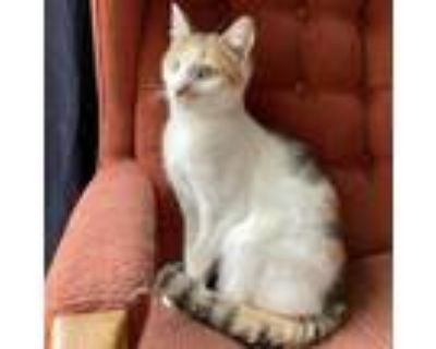 Adopt Ann a Calico or Dilute Calico Domestic Shorthair / Mixed cat in Fairfax