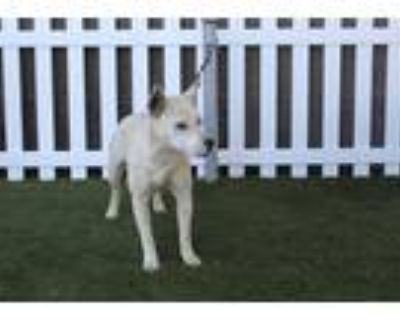Adopt a White - with Tan, Yellow or Fawn Border Collie / Bull Terrier / Mixed