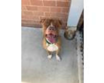 Adopt Caviar a Brown/Chocolate American Pit Bull Terrier / Mixed dog in Newport
