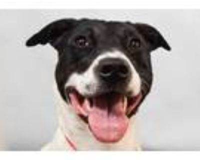 Adopt WINSTON a White - with Black American Pit Bull Terrier / Border Collie /