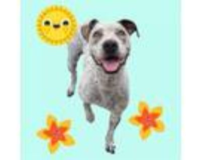 Adopt PEPPER a Pointer, Mixed Breed