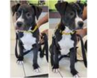 Adopt *SUMMER a Black - with White American Pit Bull Terrier / Mixed dog in