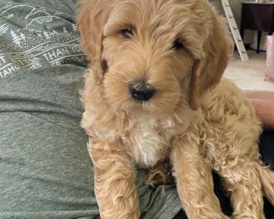 Goldendoodle female puppy