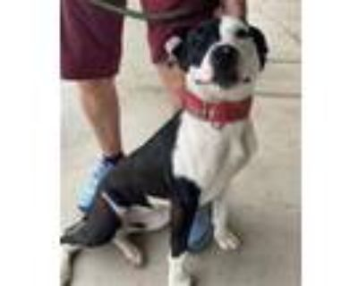 Adopt DAISY a Pit Bull Terrier, Border Collie