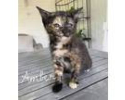 Adopt Amber a Spotted Tabby/Leopard Spotted Domestic Mediumhair / Mixed cat in
