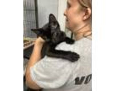 Adopt Kevin a All Black Domestic Shorthair / Domestic Shorthair / Mixed cat in