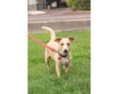Adopt STRIPE a Tan/Yellow/Fawn - with White Labrador Retriever / Corgi / Mixed