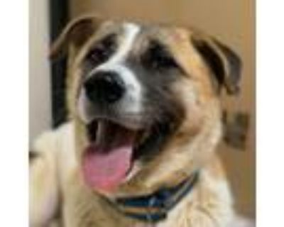 Adopt Mary a Tricolor (Tan/Brown & Black & White) Jindo / Akita / Mixed dog in