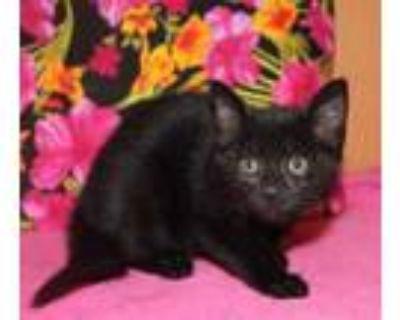 Adopt JUNIPER a All Black Domestic Shorthair / Mixed (short coat) cat in