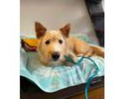 Adopt Podo a Terrier, Jindo