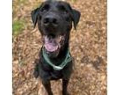 Adopt Bully a Black Retriever (Unknown Type) / Mixed dog in Decatur