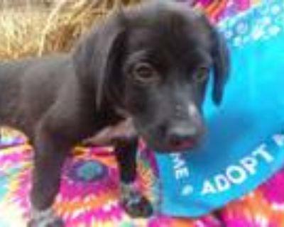 Adopt Drake--Adoption Pending a Labrador Retriever, Cattle Dog