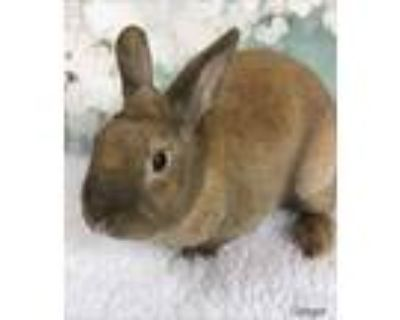 Adopt Ginger a Cinnamon Other/Unknown / Mixed (short coat) rabbit in Auburn