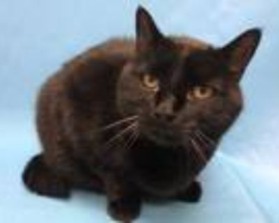 Adopt Cat Kane Cole a All Black Domestic Shorthair / Domestic Shorthair / Mixed