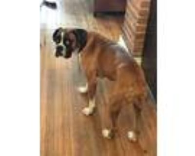 Adopt Andy a Boxer / Mixed dog in Denver, CO (31690763)
