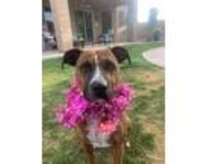 Adopt Glenda a Brindle American Staffordshire Terrier / Boxer / Mixed dog in