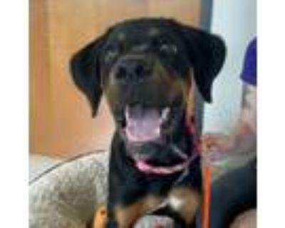 Adopt Girl a Black Doberman Pinscher / Mixed dog in Dallas, TX (32055523)