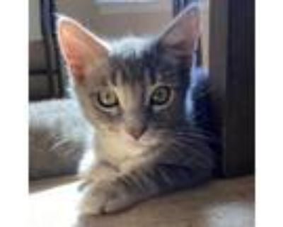 Adopt Boomhauer a Gray or Blue Domestic Shorthair / Mixed cat in Culver City