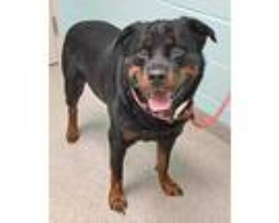 Adopt Hulk a Black Rottweiler / Mixed dog in Noblesville, IN (32115872)