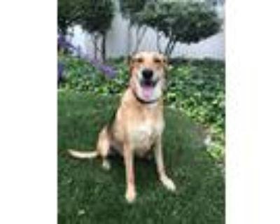 Adopt Nikki a Tan/Yellow/Fawn - with Black German Shepherd Dog / Greyhound /