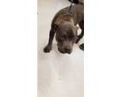 Adopt JUNEY-BEE a Brown/Chocolate American Pit Bull Terrier / Mixed dog in