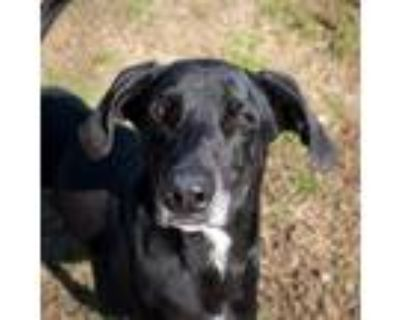 Adopt Digger a Black Labrador Retriever / Hound (Unknown Type) / Mixed dog in