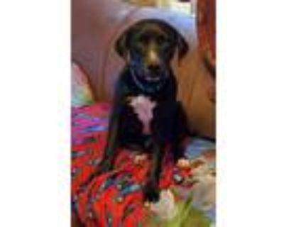 Adopt Heckle a Labrador Retriever, Boxer
