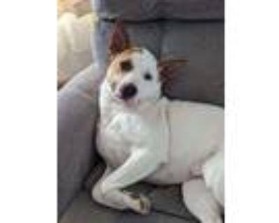 Adopt Cora a German Shepherd Dog, Cattle Dog