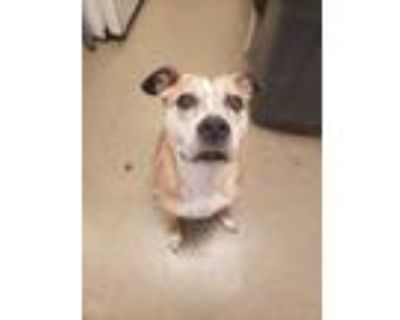Adopt Cookie a American Pit Bull Terrier / Mixed dog in Birdsboro, PA (31129802)