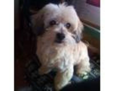 Adopt Guapo a Tan/Yellow/Fawn Havanese / Mixed dog in Apple Valley