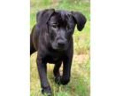 Adopt Layna ~ meet me! a Black Labrador Retriever / Boxer / Mixed dog in