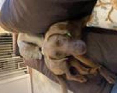 Adopt Sally #2611 a Brown/Chocolate Labrador Retriever / Mixed dog in