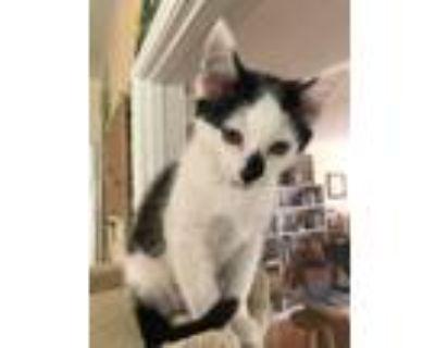 Adopt Maui Y#4 a Domestic Mediumhair / Mixed (medium coat) cat in Cambria
