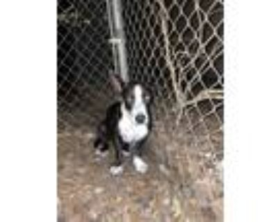 Adopt Domino a Black - with White Terrier (Unknown Type, Medium) / Mixed dog in