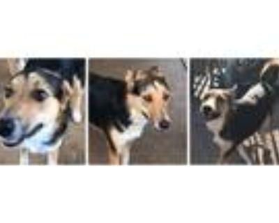 Adopt ABBY AKA ABIGAIL a Tricolor (Tan/Brown & Black & White) Collie / Corgi /