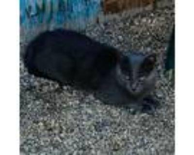 Adopt Meow Meow a Domestic Short Hair