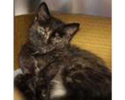 Adopt Pisces a All Black Domestic Shorthair / Domestic Shorthair / Mixed cat in