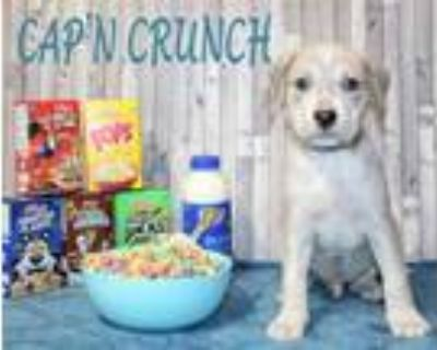 Adopt Cap'n Crunch a White American Staffordshire Terrier / Mixed dog in Morton