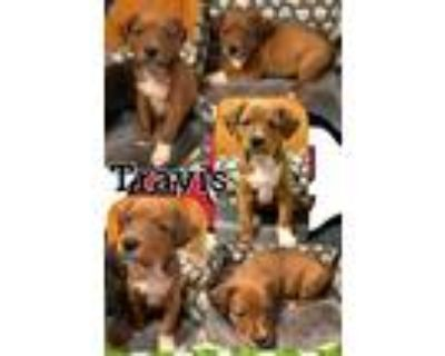 Adopt Travis a Red/Golden/Orange/Chestnut Shepherd (Unknown Type) / Rottweiler /