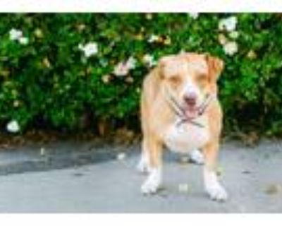 Adopt Shirley a Tan/Yellow/Fawn - with White Corgi / Mixed dog in Woodland