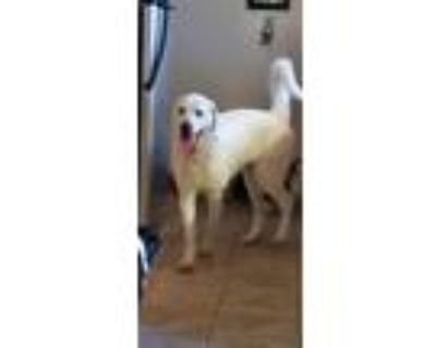 Adopt Ty a Great Pyrenees