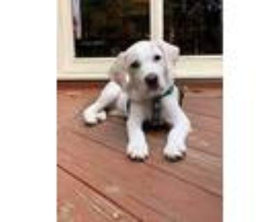 Adopt Geillis a Tan/Yellow/Fawn Labrador Retriever / Mixed Breed (Medium) /