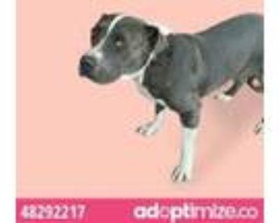 Adopt 48292217 a Gray/Blue/Silver/Salt & Pepper American Pit Bull Terrier /