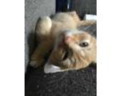 Adopt SNARF! a Orange or Red Domestic Shorthair / Mixed (short coat) cat in