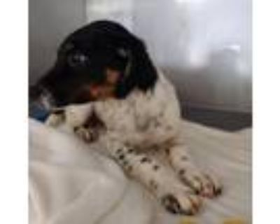 Adopt Cannonball Connor a Border Collie, Rottweiler