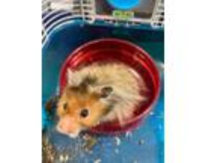 Adopt Sir Nibblets a Tan or Beige Hamster / Mixed small animal in Washington