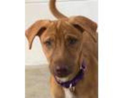 Adopt Luzia a Labrador Retriever / Mixed Breed (Medium) / Mixed dog in Fort