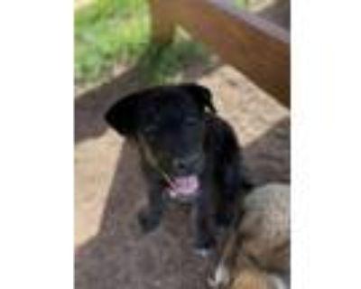 Adopt Allie a Black Labrador Retriever dog in Denver, CO (31678069)